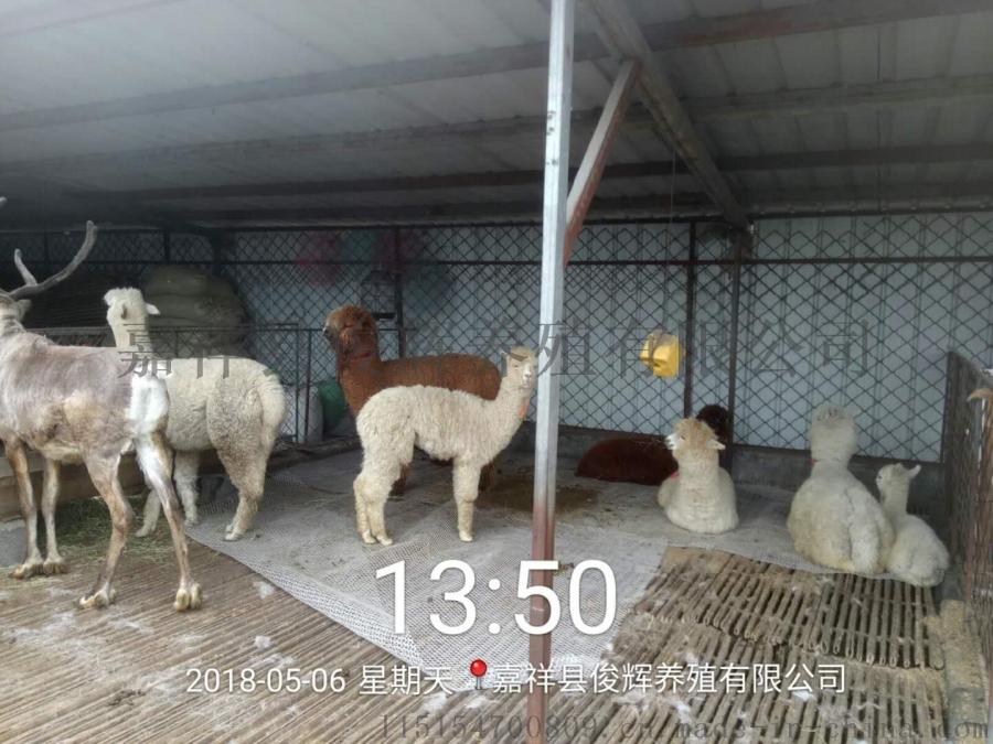 羊驼出租羊驼展览羊驼租赁价格